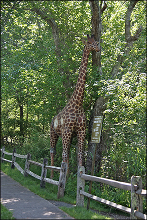 DurellGodfrey-Giraffe-7842
