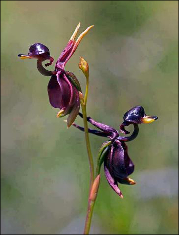 flyingduckorchid
